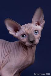 Племенные животные породы сфинкс (котята).