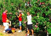сборщик урожая яблок