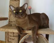 Бурманский питомник NALA-ALTANA предлагает котят