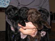 Очаровательные черные и шоколадные щенки лабрадора