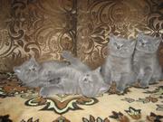 Продам британских клубных голубых котят  с документами